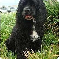 Adopt A Pet :: Bella Lou - Sugarland, TX
