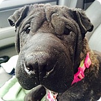 Adopt A Pet :: Petunia - Barnegat Light, NJ