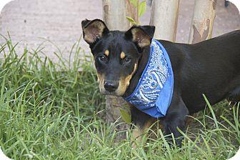 Shepherd (Unknown Type)/Labrador Retriever Mix Dog for adoption in Hatifeld, Pennsylvania - Cooper