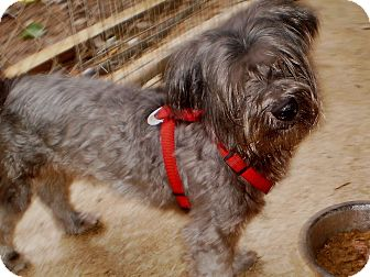 Maltese/Yorkie, Yorkshire Terrier Mix Dog for adoption in Sylva, North Carolina - Jacob