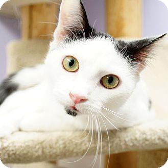 Domestic Shorthair Kitten for adoption in Naperville, Illinois - Salerno