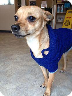 Chihuahua Mix Dog for adoption in San Antonio, Texas - Nico