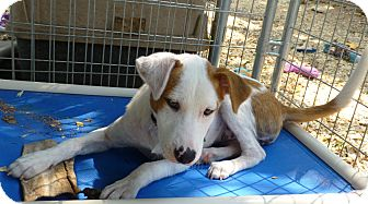 Collie Mix Dog for adoption in Cat Spring, Texas - Jenny