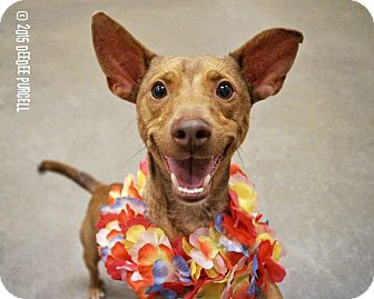 Dachshund/Terrier (Unknown Type, Small) Mix Dog for adoption in Phoenix, Arizona - Big Red