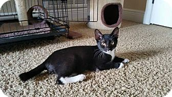 Domestic Shorthair Kitten for adoption in Crestview, Florida - Boots