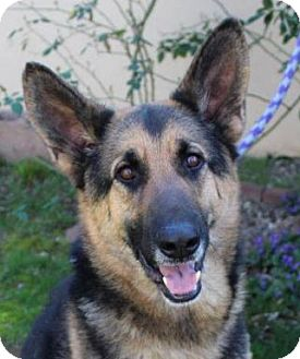 German Shepherd Dog Mix Dog for adoption in Red Bluff, California - SARGENT