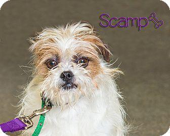 Shih Tzu Mix Dog for adoption in Somerset, Pennsylvania - Scamp