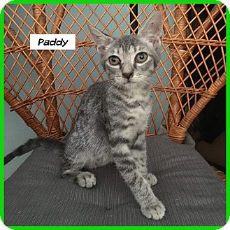 Domestic Shorthair Cat for adoption in Miami, Florida - Paddy