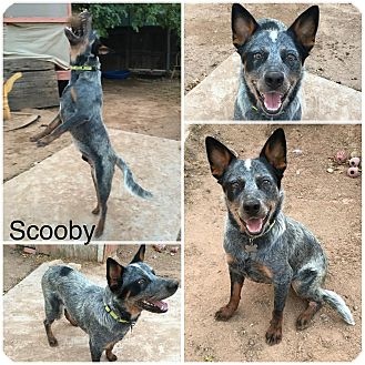 Australian Cattle Dog Dog for adoption in Phoenix, Arizona - Scooby