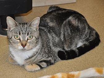 Domestic Shorthair Cat for adoption in Pompano Beach, Florida - Destiny