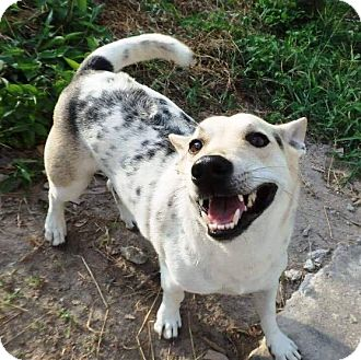 Jack Russell Terrier/Corgi Mix Dog for adoption in WADSWORTH, Illinois - AKIN