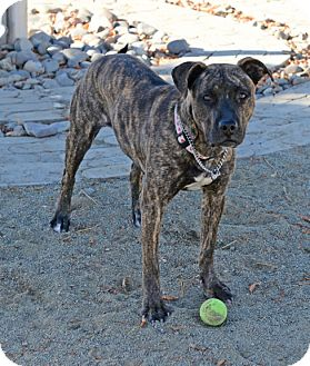 Shepherd (Unknown Type)/Pit Bull Terrier Mix Dog for adoption in Gardnerville, Nevada - Hope