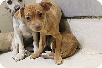Chihuahua Mix Puppy for adoption in Odessa, Texas - A16 Akeya