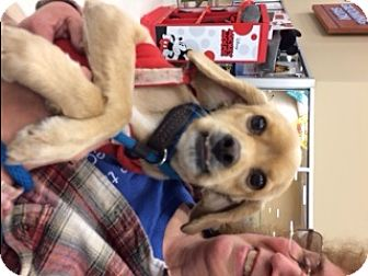Cocker Spaniel Mix Dog for adoption in Stafford, Virginia - Buddy