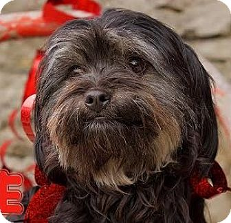 Shih Tzu/Yorkie, Yorkshire Terrier Mix Dog for adoption in Cincinnati, Ohio - Calliope