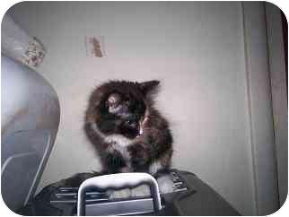 Domestic Longhair Kitten for adoption in Gloucester, Virginia - Aurora