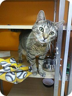 Domestic Shorthair Cat for adoption in Elyria, Ohio - Sammy