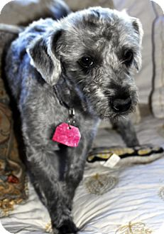 Poodle (Miniature)/Standard Schnauzer Mix Dog for adoption in Antioch, California - Chuck