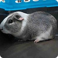 Adopt A Pet :: *Urgent* Pigasus - Fullerton, CA