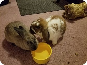 Lop-Eared Mix for adoption in Conshohocken, Pennsylvania - Bellsprout and Momo
