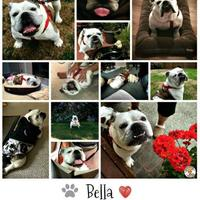 Adopt A Pet :: Bella - Everett, WA