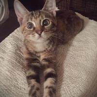 Domestic Mediumhair/Domestic Shorthair Mix Cat for adoption in Wichita, Kansas - Paddles