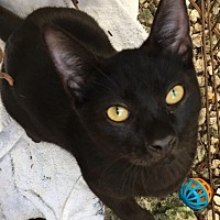 Adopt A Pet :: Silo Kitten - Homestead, FL