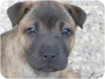 Shar Pei Mix Dog for adoption in Houston, Texas - Crystal