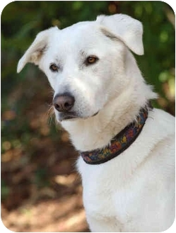 Great Pyrenees Dog for adoption in El Segundo, California - Cooper