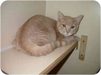 Domestic Shorthair Cat for adoption in Saanichton, British Columbia - Oswald