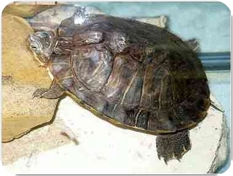 Turtle - Water for adoption in San Clemente, California - YERTLE = Adopted 7/29/2009
