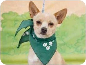 Chihuahua Dog for adoption in Sherman Oaks, California - Joey