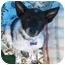 Photo 1 - Australian Cattle Dog Mix Puppy for adoption in Phoenix, Arizona - Sir Samuel