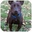 Photo 4 - Corgi/Jack Russell Terrier Mix Dog for adoption in Latrobe, Pennsylvania - Mercedes