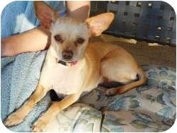 Chihuahua Mix Dog for adoption in Mesa, Arizona - Neenah