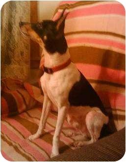 Rat Terrier Mix Dog for adoption in Carmel, Indiana - Dakarai