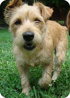 Westie, West Highland White Terrier/Cairn Terrier Mix Dog for adoption in Staunton, Virginia - Umee