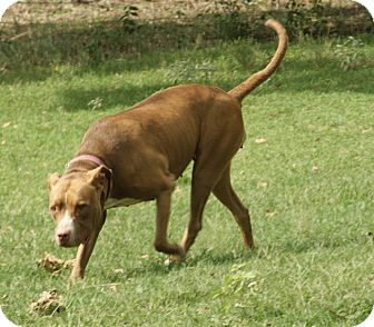 American Staffordshire Terrier Mix Dog for adoption in Eustace, Texas - Betsie