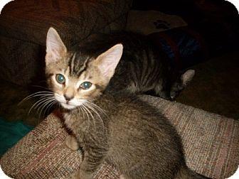 Abyssinian Kitten for adoption in Kirkwood, Delaware - Oliver