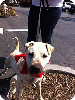 Shar Pei Mix Puppy for adoption in Mira Loma, California - Chester