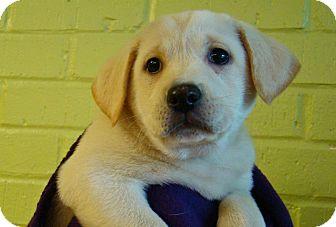 Labrador Retriever Mix Puppy for adoption in South Dennis, Massachusetts - Lisa