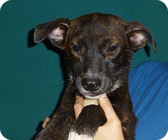 Australian Shepherd/Labrador Retriever Mix Puppy for adoption in Oviedo, Florida - Astrid