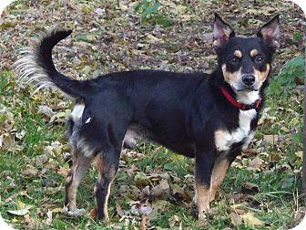 Cardigan Welsh Corgi/Australian Shepherd Mix Dog for adoption in Minneapolis, Minnesota - JoJo