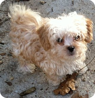 Havanese/Shih Tzu Mix Puppy for adoption in Smyrna, Georgia - CASSY