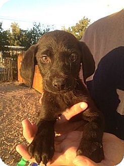 Labrador Retriever Mix Puppy for adoption in Santee, California - Dimples