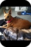 Chihuahua Mix Dog for adoption in Crowley, Louisiana - Mama Girl
