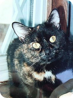 Domestic Shorthair Cat for adoption in Cincinnati, Ohio - Chloe