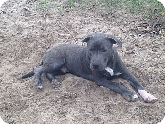 Pit Bull Terrier Puppy for adoption in Spring Hill, Florida - George