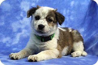 Labrador Retriever/Blue Heeler Mix Puppy for adoption in Westminster, Colorado - Cameo