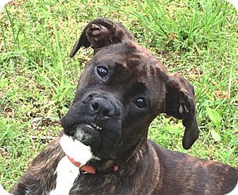 Boxer Puppy for adoption in Washington, D.C. - Jovi